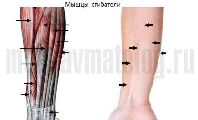 мышцы сгибатали