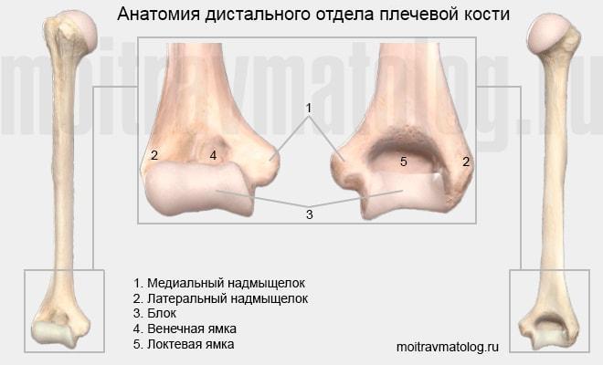 Дистальный отдел плечевой кости