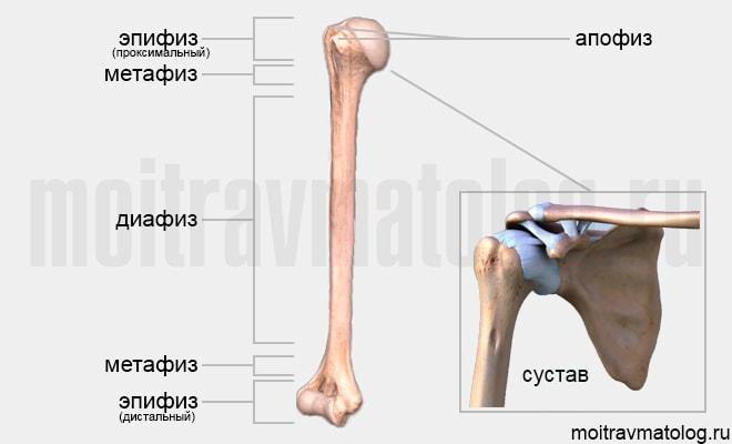 плечевая кость схема (анатомия)